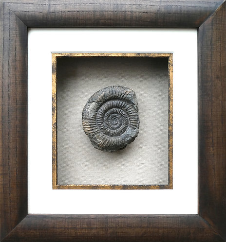 AMMONITE DISPLAY