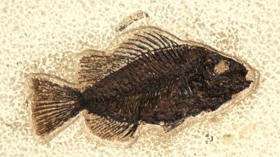 Dark Knightia Fossil Fish
