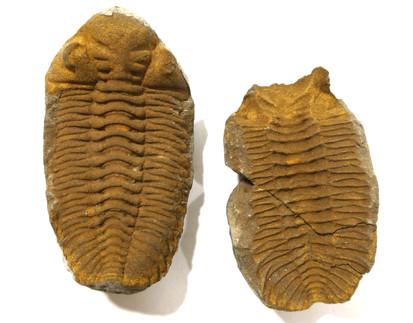 Edredgeia venustus Trilobite