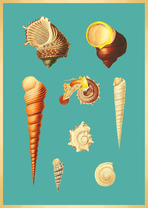Illustration  COQUILLAGES 5