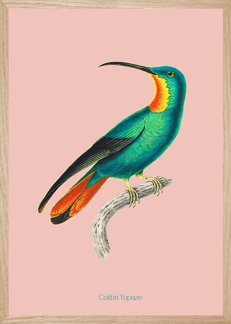 Illustration  Colibri Topaze femelle