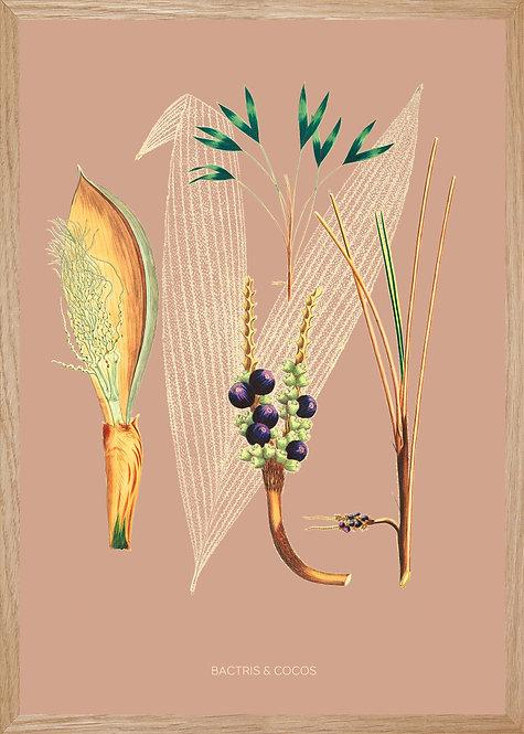 Illustration  BACTRIS & COCO