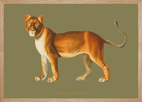 Illustration  LIONNE DE BARBARIE