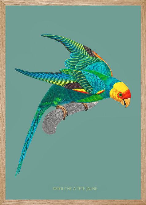 Illustration  Perruche à tête jaune