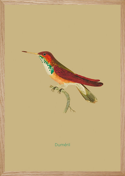 Illustration  Duméril