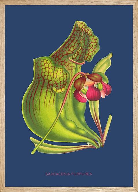 Illustration SARACENIA Purpurea