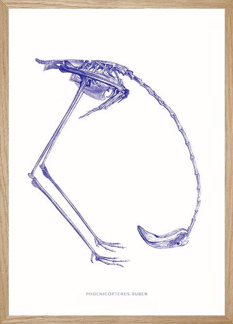 Illustration  squelette flamant rose des Caraïbes