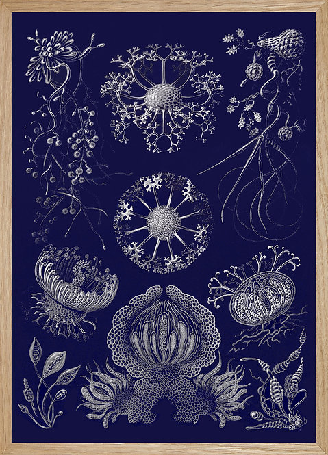 Illustration murale Haeckel-planche 73