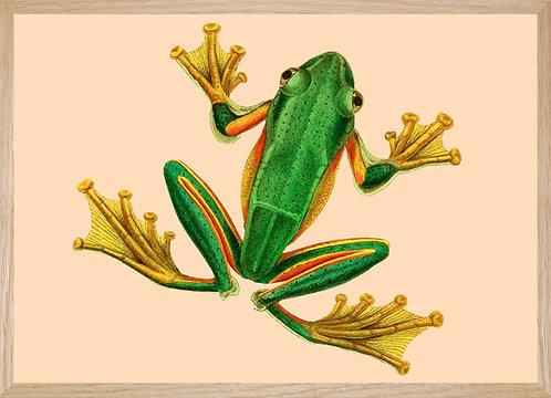 Illustration  GRENOUILLE verte aux pattes d'or
