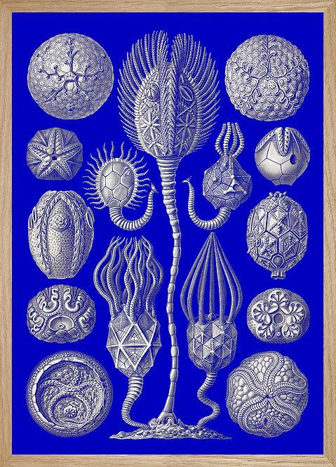 Illustration  Haeckel-planche 90