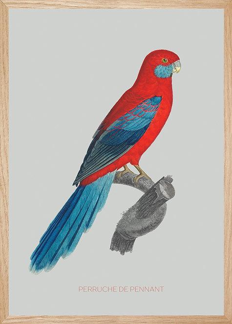 Illustration  Perruche de Pennant