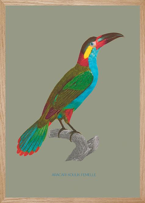 Illustration  Aracari koulik
