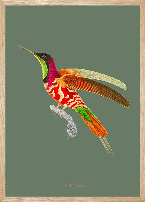 Illustration  Colibri Topaze tapiré