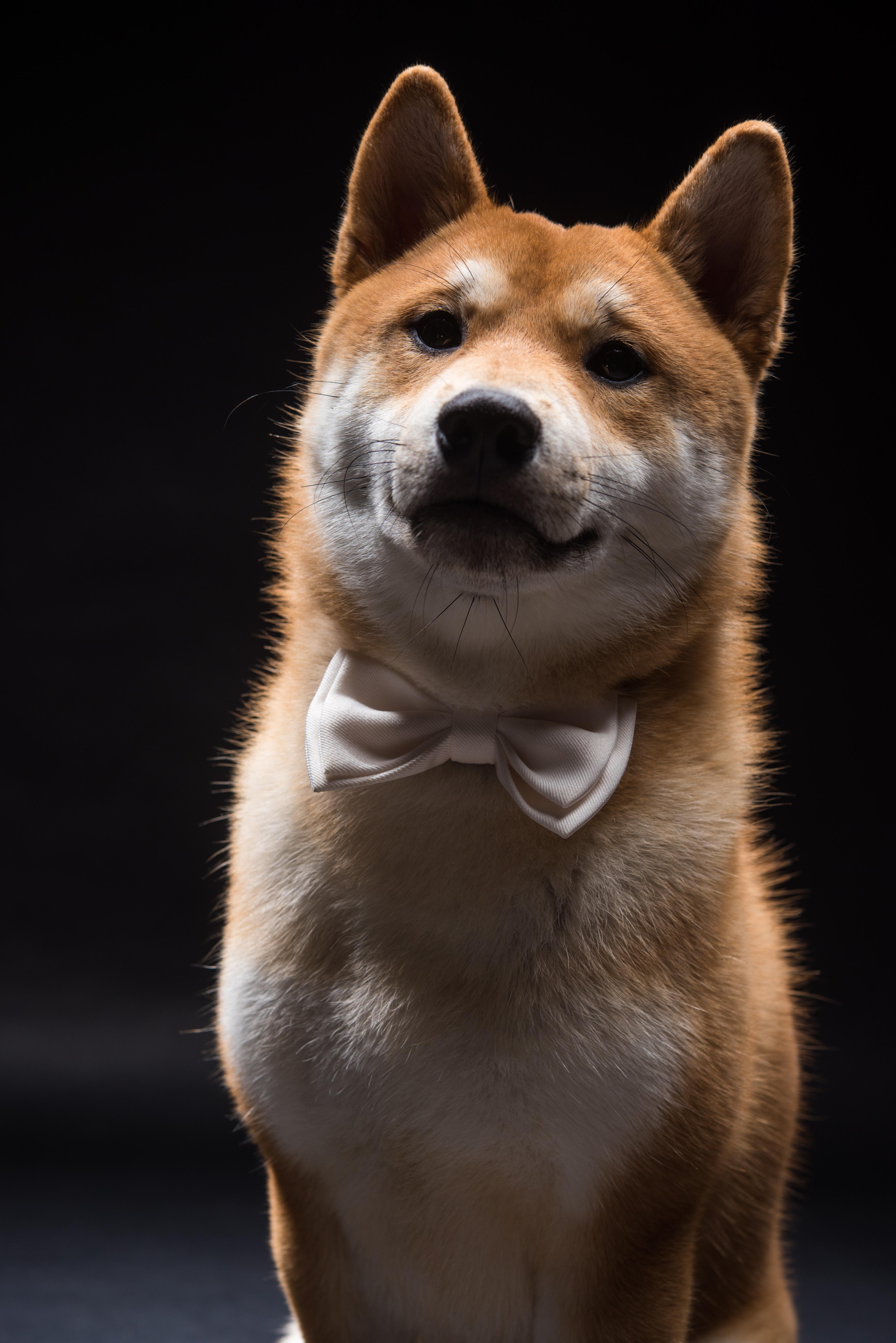 台中寵物攝影,柴犬寵物攝影,柴犬全家福,俐蓓爾攝影