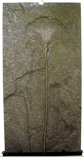 Crinoid Plate Holzmaden, GE