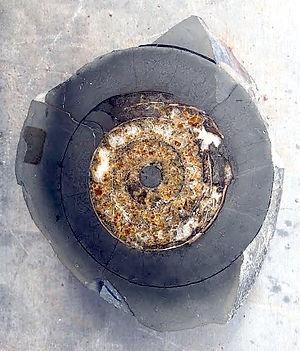 Ammonite Cadoceras.jpg