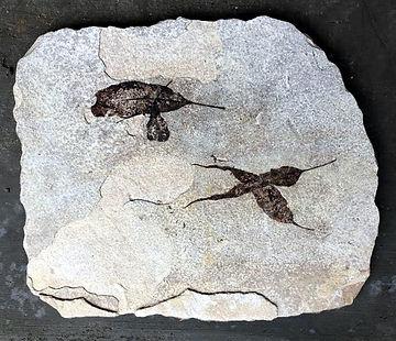 Green River Leaf Plate Eocene .jpg