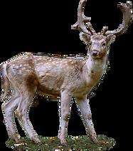 roe-deer-2687010_1920.png