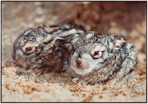 Jackrabbit BabiesJackrabbit Babies.Mark Stephenson original photograph. Pigment