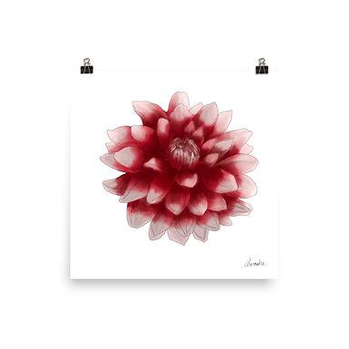 Red and White Dahlia Giclée Print