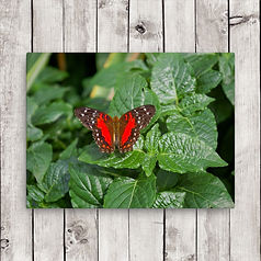 red-butterfly-canvas.jpg