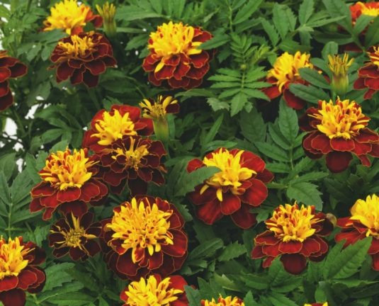 Marigold Superhero Spry 6pack