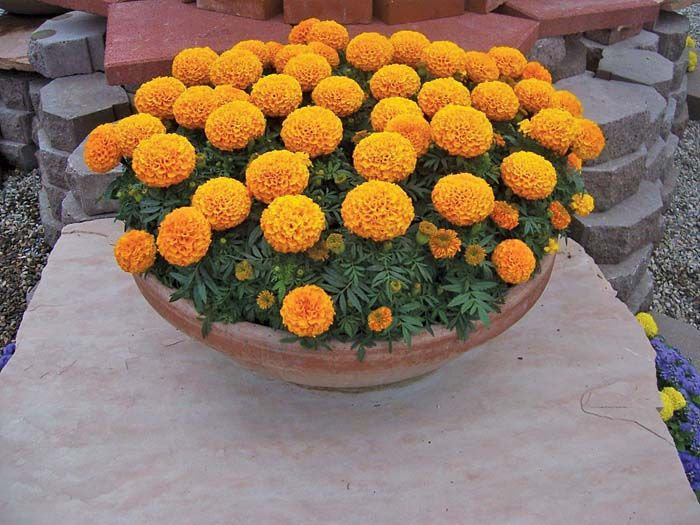 Marigold Discovery Orange - 6 pack