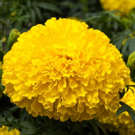 Marigold Big Top Yellow 6 pack