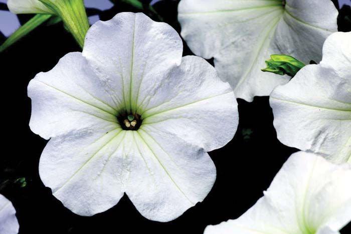 Petunia Hurrah White 6pack