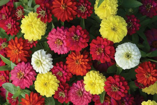 Zinnia Zahara Double Mix 6pack
