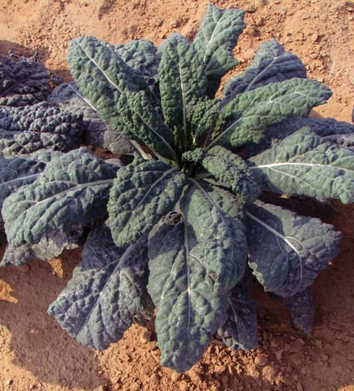 """Kale - Black Magic 4"""" pot"""