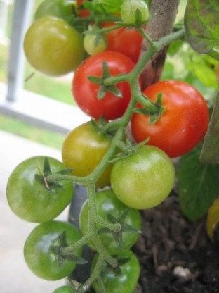 """Tomato - Tiny Tim 4"""" pot"""