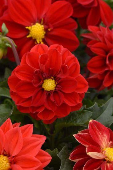 "Dahlia - Figaro Rouge 4"" Pot"
