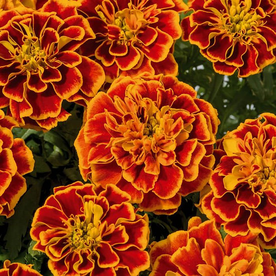 Marigold Superhero Orange Flame 6pack
