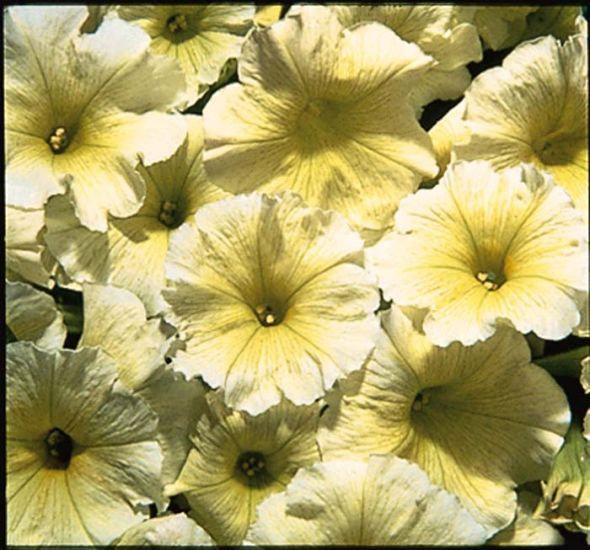 Petunia Celebrity Yellow 6pack