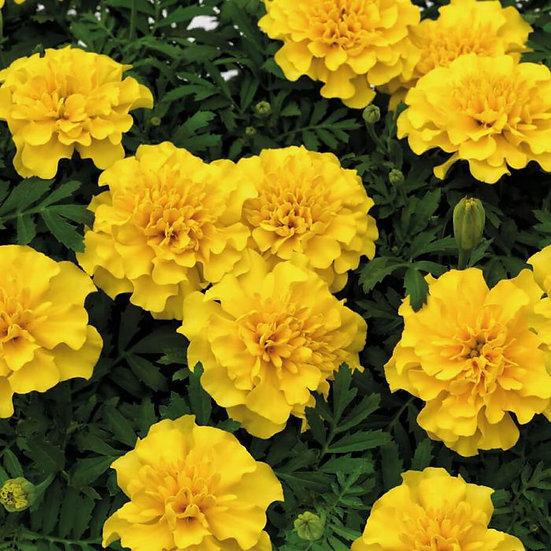 Marigold Superhero Yellow 6pack