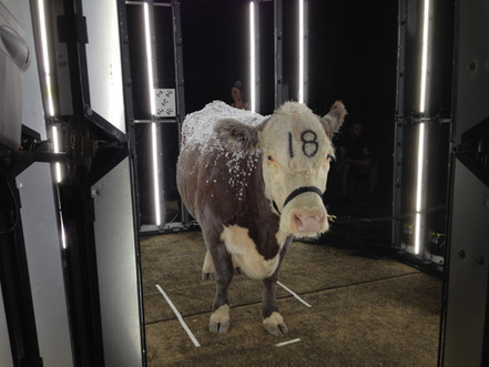 Polled Herford Cow