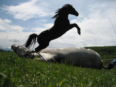 Specialty Trained Horse