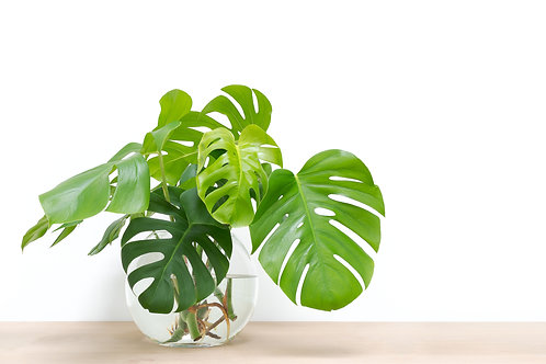 """8"""" Swiss Cheese Philodendron Hanging Basket"""