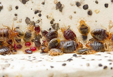 The Rise Of A Bedbug