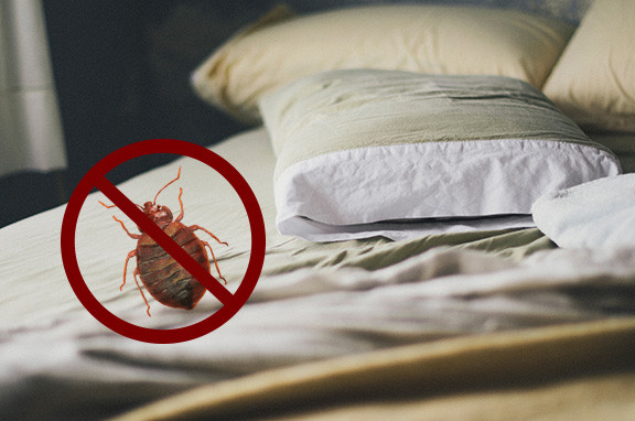 Bedbugs in Bed