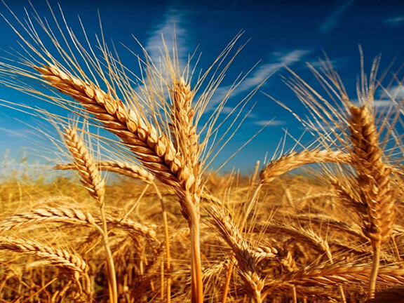 Barley for Whiskey Production