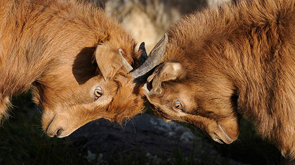 Two Rams Butting Heads