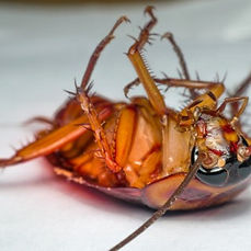 German Roach Control