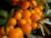 Sea-Buckthorn-Berries-Image.jpg