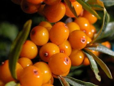 Sea-Buckthorn-Berries-Image.jpg