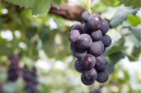 ぶどう grapes-2016-02