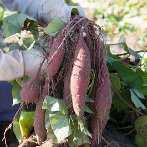 sweet-potato-2016-02