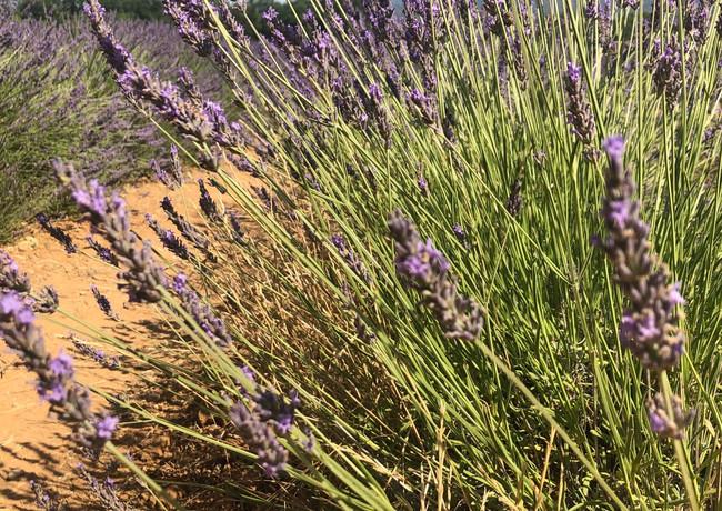 Lavendelfeld bei Gordes