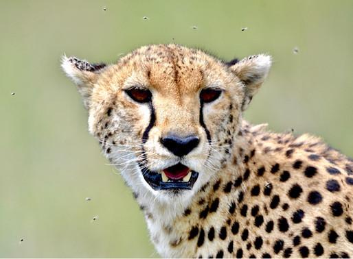 Die graziöse Cheetah 🐆